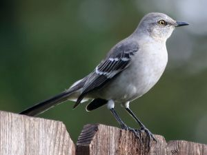 800px-Northern_Mockingbird3-cropped